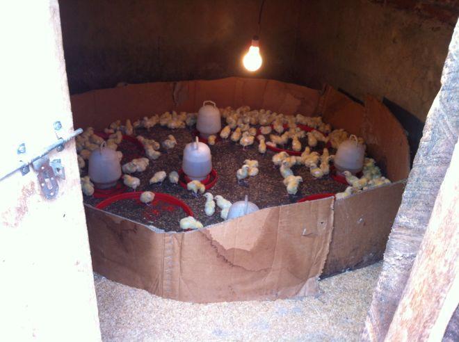 500 chicken